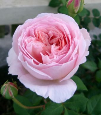 Daniel Hanna S Reviews Of Roses Available In Sydney Australia
